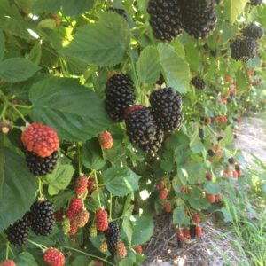Natchez Secondary Fruit 7-9-17