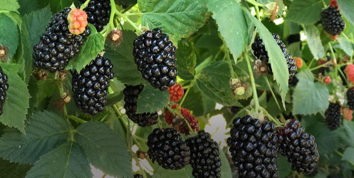 Homepage_Slider_Blackberries