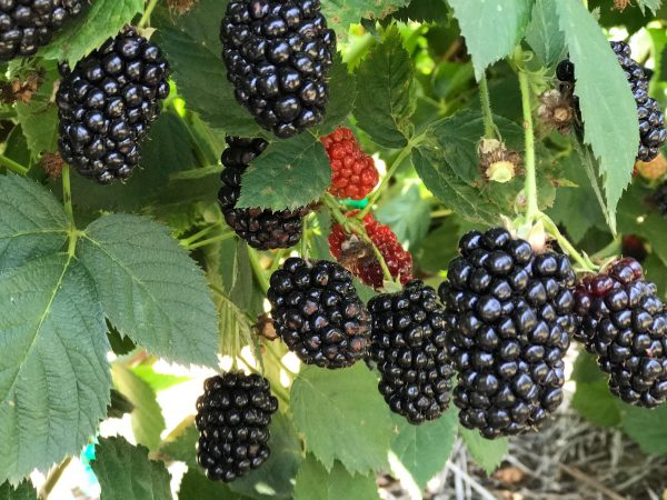 Elderslie Blackberries